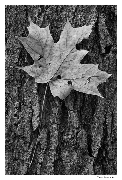 LeafBark2_wordpress