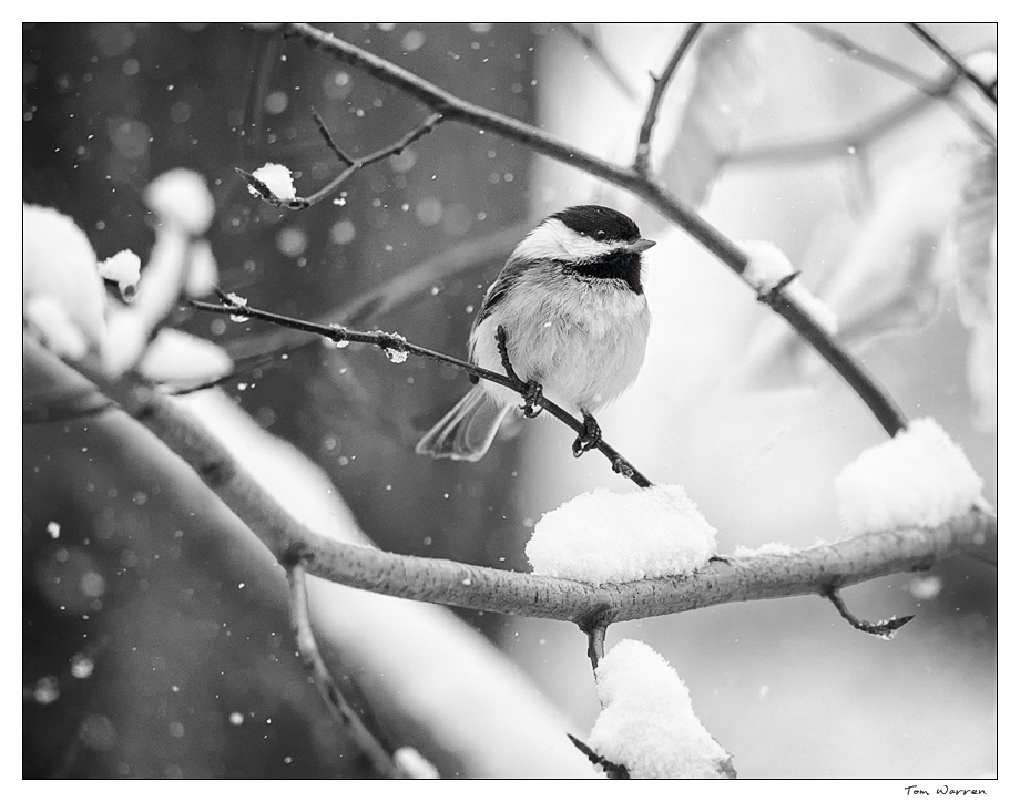 chickadee_bw_wordpress